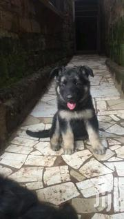 Young Female Purebred German Shepherd Dog | Dogs & Puppies for sale in Kilimanjaro, Moshi Urban