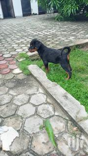 Baby Male Purebred Rottweiler | Dogs & Puppies for sale in Dar es Salaam, Temeke