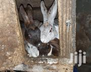 Rabbits For Sale   Livestock & Poultry for sale in Arusha, Arusha