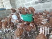 Chickens | Livestock & Poultry for sale in Pwani, Bagamoyo
